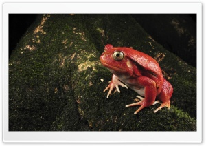 Tomato Frog HD Wide Wallpaper for Widescreen