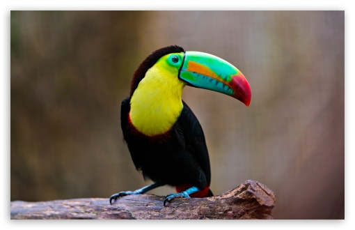 Toucan HD wallpaper for Wide 16:10 5:3 Widescreen WHXGA WQXGA WUXGA WXGA WGA ; HD 16:9 High Definition WQHD QWXGA 1080p 900p 720p QHD nHD ; Standard 4:3 5:4 3:2 Fullscreen UXGA XGA SVGA QSXGA SXGA DVGA HVGA HQVGA devices ( Apple PowerBook G4 iPhone 4 3G 3GS iPod Touch ) ; Tablet 1:1 ; iPad 1/2/Mini ; Mobile 4:3 5:3 3:2 16:9 5:4 - UXGA XGA SVGA WGA DVGA HVGA HQVGA devices ( Apple PowerBook G4 iPhone 4 3G 3GS iPod Touch ) WQHD QWXGA 1080p 900p 720p QHD nHD QSXGA SXGA ; Dual 16:10 5:3 16:9 4:3 5:4 WHXGA WQXGA WUXGA WXGA WGA WQHD QWXGA 1080p 900p 720p QHD nHD UXGA XGA SVGA QSXGA SXGA ;