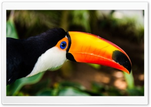 Toucan HD Wide Wallpaper for Widescreen