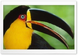 Toucan Bird Ultra HD Wallpaper for 4K UHD Widescreen desktop, tablet & smartphone