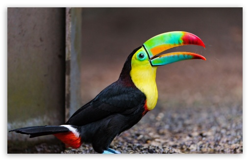 Toucan Bird UltraHD Wallpaper for Wide 16:10 5:3 Widescreen WHXGA WQXGA WUXGA WXGA WGA ; 8K UHD TV 16:9 Ultra High Definition 2160p 1440p 1080p 900p 720p ; Standard 4:3 5:4 3:2 Fullscreen UXGA XGA SVGA QSXGA SXGA DVGA HVGA HQVGA ( Apple PowerBook G4 iPhone 4 3G 3GS iPod Touch ) ; iPad 1/2/Mini ; Mobile 4:3 5:3 3:2 16:9 5:4 - UXGA XGA SVGA WGA DVGA HVGA HQVGA ( Apple PowerBook G4 iPhone 4 3G 3GS iPod Touch ) 2160p 1440p 1080p 900p 720p QSXGA SXGA ;