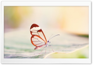 Transparent Wings Butterfly HD Wide Wallpaper for Widescreen
