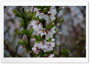 Tree Blossom HD Wide Wallpaper for Widescreen