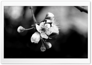 Tree Blossom Monochrome HD Wide Wallpaper for Widescreen
