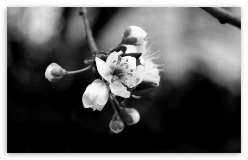 Tree Blossom Monochrome HD wallpaper for Wide 16:10 5:3 Widescreen WHXGA WQXGA WUXGA WXGA WGA ; HD 16:9 High Definition WQHD QWXGA 1080p 900p 720p QHD nHD ; Standard 4:3 5:4 3:2 Fullscreen UXGA XGA SVGA QSXGA SXGA DVGA HVGA HQVGA devices ( Apple PowerBook G4 iPhone 4 3G 3GS iPod Touch ) ; Tablet 1:1 ; iPad 1/2/Mini ; Mobile 4:3 5:3 3:2 16:9 5:4 - UXGA XGA SVGA WGA DVGA HVGA HQVGA devices ( Apple PowerBook G4 iPhone 4 3G 3GS iPod Touch ) WQHD QWXGA 1080p 900p 720p QHD nHD QSXGA SXGA ;