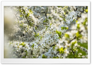 Tree Blossoms Depth of Field HD Wide Wallpaper for 4K UHD Widescreen desktop & smartphone