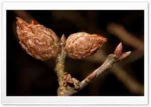 Tree Buds HD Wide Wallpaper for Widescreen