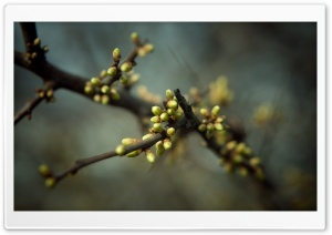 Tree Buds, Spring HD Wide Wallpaper for Widescreen