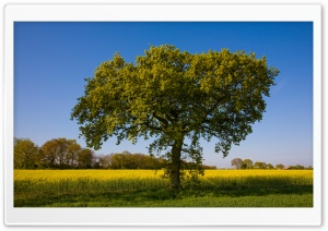 Tree By A Field Of Rape HD Wide Wallpaper for 4K UHD Widescreen desktop & smartphone