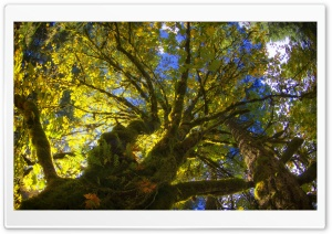 Tree Canopy From Below HD Wide Wallpaper for Widescreen