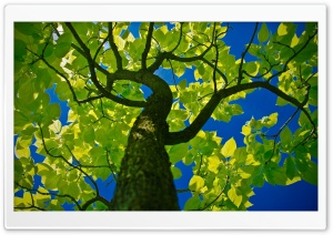 Tree Crown HD Wide Wallpaper for Widescreen