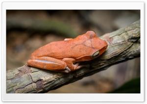 Tree Frog Ultra HD Wallpaper for 4K UHD Widescreen desktop, tablet & smartphone