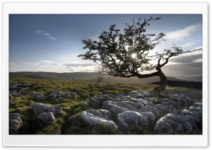 Tree Grown In Stones HD Wide Wallpaper for Widescreen