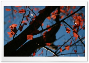Tree With Red Leaves, Autumn HD Wide Wallpaper for Widescreen