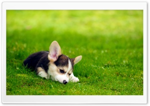 Tri Color Pembroke Welsh Corgi Puppy HD Wide Wallpaper for 4K UHD Widescreen desktop & smartphone