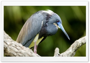 Tri Colored Heron Florida HD Wide Wallpaper for Widescreen
