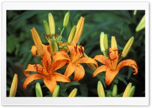 Trio Of Hybrid Daylilies HD Wide Wallpaper for Widescreen