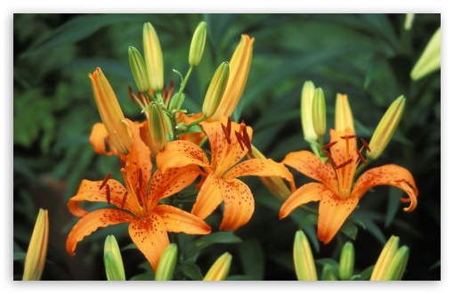 Trio Of Hybrid Daylilies ❤ 4K UHD Wallpaper for Wide 16:10 5:3 Widescreen WHXGA WQXGA WUXGA WXGA WGA ; Standard 4:3 5:4 3:2 Fullscreen UXGA XGA SVGA QSXGA SXGA DVGA HVGA HQVGA ( Apple PowerBook G4 iPhone 4 3G 3GS iPod Touch ) ; iPad 1/2/Mini ; Mobile 4:3 5:3 3:2 16:9 5:4 - UXGA XGA SVGA WGA DVGA HVGA HQVGA ( Apple PowerBook G4 iPhone 4 3G 3GS iPod Touch ) 2160p 1440p 1080p 900p 720p QSXGA SXGA ;
