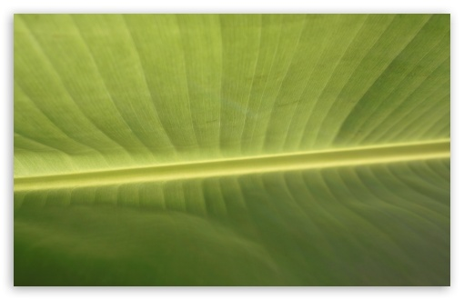 Tropical Leaf HD wallpaper for Wide 16:10 5:3 Widescreen WHXGA WQXGA WUXGA WXGA WGA ; HD 16:9 High Definition WQHD QWXGA 1080p 900p 720p QHD nHD ; UHD 16:9 WQHD QWXGA 1080p 900p 720p QHD nHD ; Standard 4:3 5:4 3:2 Fullscreen UXGA XGA SVGA QSXGA SXGA DVGA HVGA HQVGA devices ( Apple PowerBook G4 iPhone 4 3G 3GS iPod Touch ) ; iPad 1/2/Mini ; Mobile 4:3 5:3 3:2 16:9 5:4 - UXGA XGA SVGA WGA DVGA HVGA HQVGA devices ( Apple PowerBook G4 iPhone 4 3G 3GS iPod Touch ) WQHD QWXGA 1080p 900p 720p QHD nHD QSXGA SXGA ;