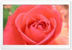 Tropicana Rose HD Wide Wallpaper for Widescreen