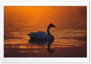 Trumpeter Swan Ultra HD Wallpaper for 4K UHD Widescreen desktop, tablet & smartphone