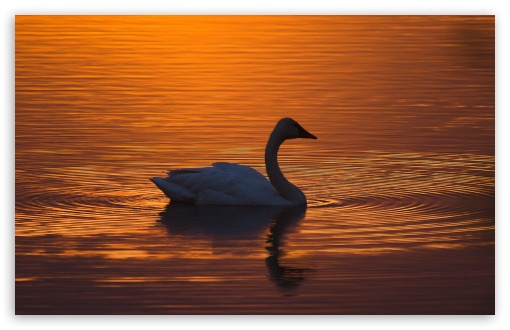 Trumpeter Swan ❤ 4K UHD Wallpaper for Wide 16:10 5:3 Widescreen WHXGA WQXGA WUXGA WXGA WGA ; UltraWide 21:9 24:10 ; 4K UHD 16:9 Ultra High Definition 2160p 1440p 1080p 900p 720p ; UHD 16:9 2160p 1440p 1080p 900p 720p ; Standard 4:3 5:4 3:2 Fullscreen UXGA XGA SVGA QSXGA SXGA DVGA HVGA HQVGA ( Apple PowerBook G4 iPhone 4 3G 3GS iPod Touch ) ; Smartphone 16:9 3:2 5:3 2160p 1440p 1080p 900p 720p DVGA HVGA HQVGA ( Apple PowerBook G4 iPhone 4 3G 3GS iPod Touch ) WGA ; Tablet 1:1 ; iPad 1/2/Mini ; Mobile 4:3 5:3 3:2 16:9 5:4 - UXGA XGA SVGA WGA DVGA HVGA HQVGA ( Apple PowerBook G4 iPhone 4 3G 3GS iPod Touch ) 2160p 1440p 1080p 900p 720p QSXGA SXGA ; Dual 16:10 5:3 16:9 4:3 5:4 3:2 WHXGA WQXGA WUXGA WXGA WGA 2160p 1440p 1080p 900p 720p UXGA XGA SVGA QSXGA SXGA DVGA HVGA HQVGA ( Apple PowerBook G4 iPhone 4 3G 3GS iPod Touch ) ;