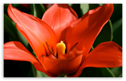 Tulip HD wallpaper for Wide 16:10 5:3 Widescreen WHXGA WQXGA WUXGA WXGA WGA ; HD 16:9 High Definition WQHD QWXGA 1080p 900p 720p QHD nHD ; Standard 4:3 5:4 3:2 Fullscreen UXGA XGA SVGA QSXGA SXGA DVGA HVGA HQVGA devices ( Apple PowerBook G4 iPhone 4 3G 3GS iPod Touch ) ; Tablet 1:1 ; iPad 1/2/Mini ; Mobile 4:3 5:3 3:2 16:9 5:4 - UXGA XGA SVGA WGA DVGA HVGA HQVGA devices ( Apple PowerBook G4 iPhone 4 3G 3GS iPod Touch ) WQHD QWXGA 1080p 900p 720p QHD nHD QSXGA SXGA ;