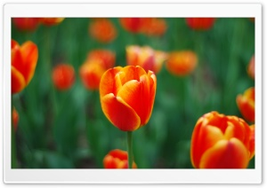 Tulip HD Wide Wallpaper for Widescreen