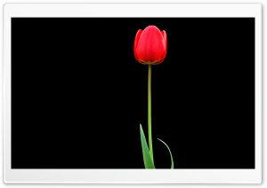 Tulip HD Wide Wallpaper for 4K UHD Widescreen desktop & smartphone