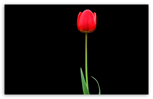 Tulip 4k Hd Desktop Wallpaper For 4k Ultra Hd Tv Tablet