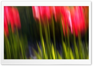 Tulip Blur HD Wide Wallpaper for Widescreen