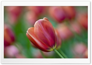 Tulip Bokeh HD Wide Wallpaper for Widescreen