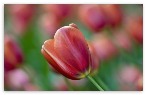 Tulip Bokeh ❤ 4K UHD Wallpaper for Wide 16:10 5:3 Widescreen WHXGA WQXGA WUXGA WXGA WGA ; 4K UHD 16:9 Ultra High Definition 2160p 1440p 1080p 900p 720p ; UHD 16:9 2160p 1440p 1080p 900p 720p ; Standard 4:3 5:4 3:2 Fullscreen UXGA XGA SVGA QSXGA SXGA DVGA HVGA HQVGA ( Apple PowerBook G4 iPhone 4 3G 3GS iPod Touch ) ; Tablet 1:1 ; iPad 1/2/Mini ; Mobile 4:3 5:3 3:2 16:9 5:4 - UXGA XGA SVGA WGA DVGA HVGA HQVGA ( Apple PowerBook G4 iPhone 4 3G 3GS iPod Touch ) 2160p 1440p 1080p 900p 720p QSXGA SXGA ;