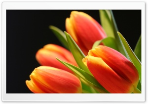 Tulip Buds HD Wide Wallpaper for Widescreen