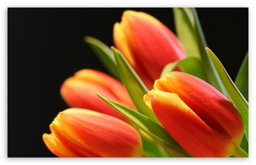 Tulip Buds HD wallpaper for Wide 16:10 5:3 Widescreen WHXGA WQXGA WUXGA WXGA WGA ; HD 16:9 High Definition WQHD QWXGA 1080p 900p 720p QHD nHD ; Standard 4:3 5:4 3:2 Fullscreen UXGA XGA SVGA QSXGA SXGA DVGA HVGA HQVGA devices ( Apple PowerBook G4 iPhone 4 3G 3GS iPod Touch ) ; Tablet 1:1 ; iPad 1/2/Mini ; Mobile 4:3 5:3 3:2 16:9 5:4 - UXGA XGA SVGA WGA DVGA HVGA HQVGA devices ( Apple PowerBook G4 iPhone 4 3G 3GS iPod Touch ) WQHD QWXGA 1080p 900p 720p QHD nHD QSXGA SXGA ; Dual 4:3 5:4 UXGA XGA SVGA QSXGA SXGA ;
