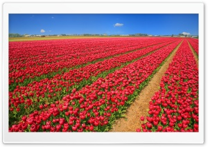 Tulip Field HD Wide Wallpaper for Widescreen