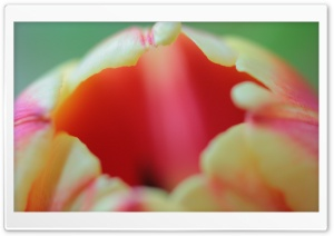 Tulip Flower Macro HD Wide Wallpaper for Widescreen