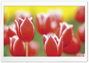Tulip Garden HD Wide Wallpaper for Widescreen
