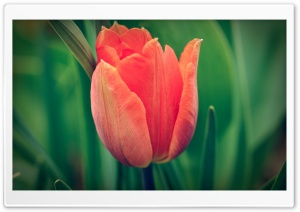 Tulip, Green Background HD Wide Wallpaper for Widescreen