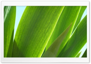 Tulip Leaves HD Wide Wallpaper for Widescreen