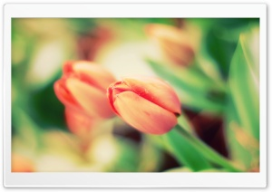 Tulip Macro HD Wide Wallpaper for Widescreen