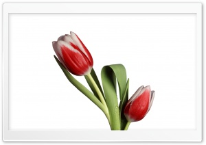 Tulip Model HD Wide Wallpaper for Widescreen
