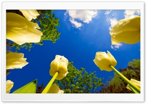 Tulip Race HD Wide Wallpaper for Widescreen