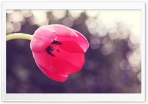 Tulip Stamens HD Wide Wallpaper for Widescreen
