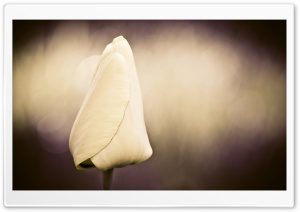 Tulip Vintage Bokeh HD Wide Wallpaper for Widescreen