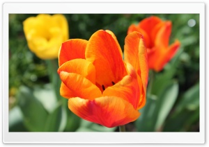 Tulipe HD Wide Wallpaper for Widescreen