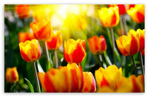 Tulips HD wallpaper for Standard 4:3 5:4 Fullscreen UXGA XGA SVGA QSXGA SXGA ; Wide 16:10 5:3 Widescreen WHXGA WQXGA WUXGA WXGA WGA ; HD 16:9 High Definition WQHD QWXGA 1080p 900p 720p QHD nHD ; Other 3:2 DVGA HVGA HQVGA devices ( Apple PowerBook G4 iPhone 4 3G 3GS iPod Touch ) ; Mobile VGA WVGA iPhone iPad PSP Phone - VGA QVGA Smartphone ( PocketPC GPS iPod Zune BlackBerry HTC Samsung LG Nokia Eten Asus ) WVGA WQVGA Smartphone ( HTC Samsung Sony Ericsson LG Vertu MIO ) HVGA Smartphone ( Apple iPhone iPod BlackBerry HTC Samsung Nokia ) Sony PSP Zune HD Zen ; Tablet 2 Android ; Dual 4:3 5:4 16:10 5:3 16:9 UXGA XGA SVGA QSXGA SXGA WHXGA WQXGA WUXGA WXGA WGA WQHD QWXGA 1080p 900p 720p QHD nHD ;
