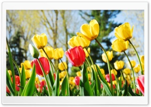 Tulips HD Wide Wallpaper for 4K UHD Widescreen desktop & smartphone