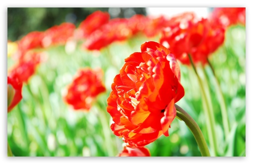 Tulips UltraHD Wallpaper for Wide 16:10 5:3 Widescreen WHXGA WQXGA WUXGA WXGA WGA ; 8K UHD TV 16:9 Ultra High Definition 2160p 1440p 1080p 900p 720p ; Standard 4:3 5:4 3:2 Fullscreen UXGA XGA SVGA QSXGA SXGA DVGA HVGA HQVGA ( Apple PowerBook G4 iPhone 4 3G 3GS iPod Touch ) ; Tablet 1:1 ; iPad 1/2/Mini ; Mobile 4:3 5:3 3:2 16:9 5:4 - UXGA XGA SVGA WGA DVGA HVGA HQVGA ( Apple PowerBook G4 iPhone 4 3G 3GS iPod Touch ) 2160p 1440p 1080p 900p 720p QSXGA SXGA ;