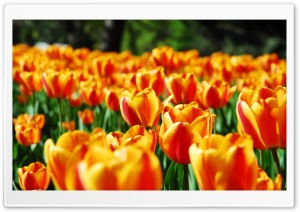 Tulips HD Wide Wallpaper for Widescreen